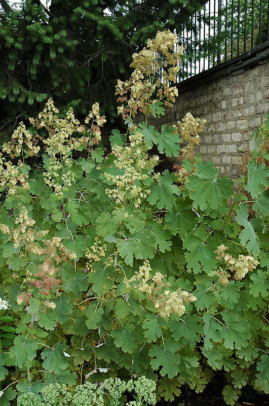 Plume Poppy (Macleaya cordata) at Plants Unlimited