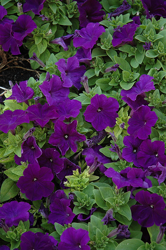 Pretty Flora Midnight Petunia (Petunia 'Pretty Flora Midnight') at Plants Unlimited