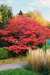 Shadblow Serviceberry (Amelanchier canadensis) at Plants Unlimited