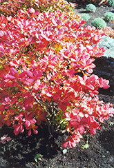 Royal Azalea (Rhododendron schlippenbachii) at Plants Unlimited