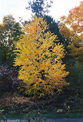 Katsura Tree (Cercidiphyllum japonicum) at Plants Unlimited