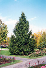 Norway Spruce (Picea abies) at Plants Unlimited