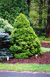 Dwarf Alberta Spruce (Picea glauca 'Conica') at Plants Unlimited