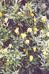 Golden Clematis (Clematis tangutica) at Plants Unlimited