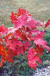 Red Oak (Quercus rubra) at Plants Unlimited