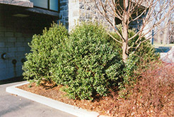 Densa Inkberry Holly (Ilex glabra 'Densa') at Plants Unlimited