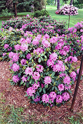 Roseum Elegans Rhododendron (Rhododendron catawbiense 'Roseum Elegans') at Plants Unlimited