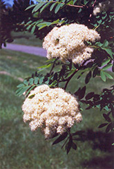 European Mountain Ash (Sorbus aucuparia) at Plants Unlimited