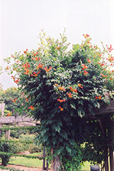Trumpetvine (Campsis radicans) at Plants Unlimited