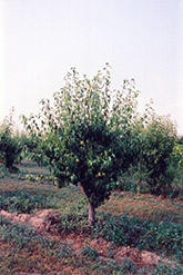 Anjou Pear (Pyrus communis 'Anjou') at Plants Unlimited