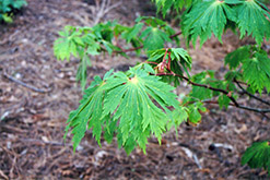 Fullmoon Maple (Acer japonicum) at Plants Unlimited