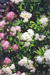 Shirobana Spirea (Spiraea japonica 'Shirobana') at Plants Unlimited