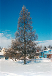 Tamarack (Larix laricina) at Plants Unlimited