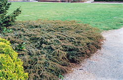 Effusa Juniper (Juniperus communis 'Effusa') at Plants Unlimited
