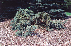 Creeping Blue Spruce (Picea pungens 'Glauca Prostrata') at Plants Unlimited