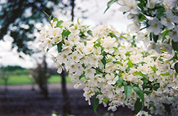 Snowdrift Flowering Crab (Malus 'Snowdrift') at Plants Unlimited