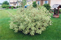 Silver Variegated Dogwood (Cornus alba 'Elegantissima') at Plants Unlimited