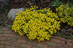 Gold Dust Basket Of Gold (Aurinia saxatilis 'Compacta') at Plants Unlimited