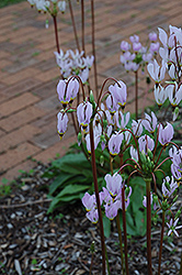 Shooting Star (Dodecatheon meadia) at Plants Unlimited