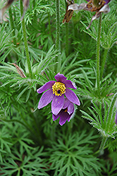 Pasqueflower (Pulsatilla vulgaris) at Plants Unlimited