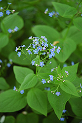 Siberian Bugloss (Brunnera macrophylla) at Plants Unlimited