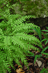 Northern Maidenhair Fern (Adiantum pedatum) at Plants Unlimited