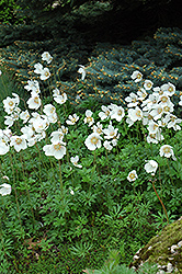 Windflower (Anemone sylvestris) at Plants Unlimited