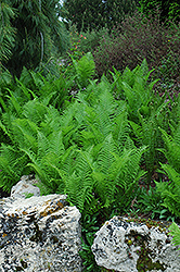 Ostrich Fern (Matteuccia struthiopteris) at Plants Unlimited