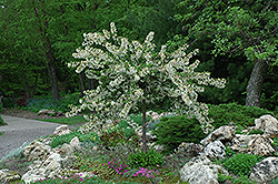 Tina Flowering Crab (Malus sargentii 'Tina') at Plants Unlimited