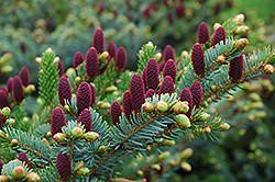 Red Cone Spruce (Picea abies 'Acrocona') at Plants Unlimited