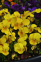 Penny Yellow Pansy (Viola cornuta 'Penny Yellow') at Plants Unlimited