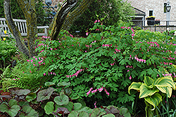Common Bleeding Heart (Dicentra spectabilis) at Plants Unlimited
