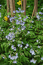 Creeping Jacob's Ladder (Polemonium reptans) at Plants Unlimited