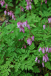 Bleeding Heart (Dicentra eximia) at Plants Unlimited