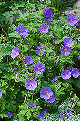 Johnson's Blue Cranesbill (Geranium 'Johnson's Blue') at Plants Unlimited