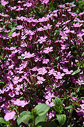 Rock Soapwort (Saponaria ocymoides) at Plants Unlimited
