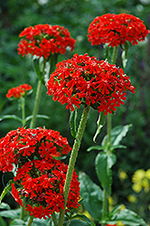 Maltese Cross (Lychnis chalcedonica) at Plants Unlimited