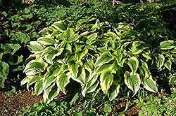 Gold-Variegated Mountain Hosta (Hosta montana 'Aureomarginata') at Plants Unlimited