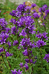 Clustered Bellflower (Campanula glomerata) at Plants Unlimited