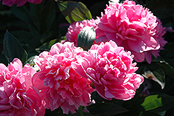 J.H. Wigell Peony (Paeonia 'J.H. Wigell') at Plants Unlimited