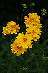 Early Sunrise Tickseed (Coreopsis 'Early Sunrise') at Plants Unlimited