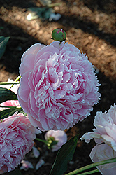 Shirley Temple Peony (Paeonia 'Shirley Temple') at Plants Unlimited