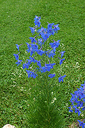Chinese Delphinium (Delphinium grandiflorum) at Plants Unlimited