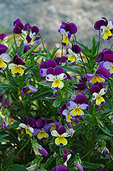 Johnny Jump-Up (Viola tricolor) at Plants Unlimited