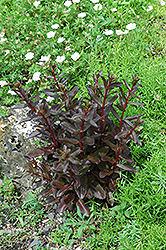 Purple Showy Stonecrop (Sedum telephium 'Atropurpurea') at Plants Unlimited