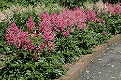 Rheinland Astilbe (Astilbe japonica 'Rheinland') at Plants Unlimited
