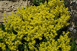 Golden Moss Stonecrop (Sedum acre) at Plants Unlimited