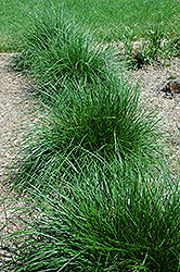 Tufted Hair Grass (Deschampsia cespitosa) at Plants Unlimited