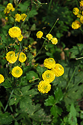 Yellow Bachelor's Button (Ranunculus acris 'Flore Plena') at Plants Unlimited