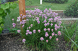 Chives (Allium schoenoprasum) at Plants Unlimited
